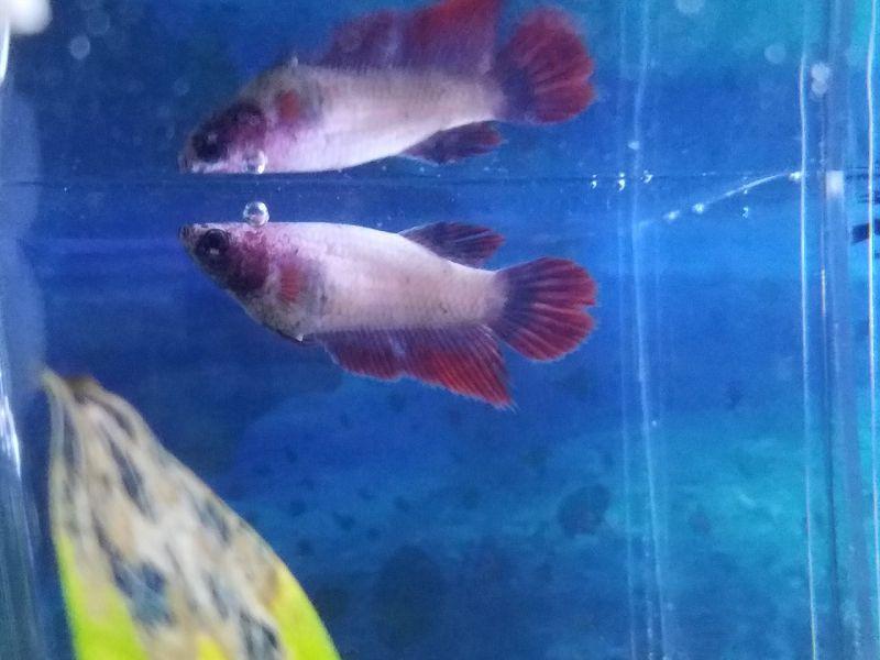 Mengawinkan Ikan Cupang