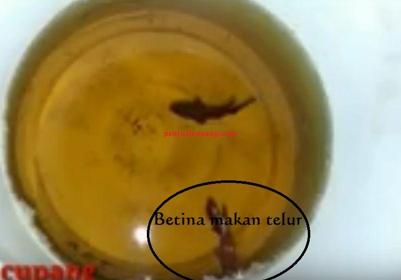 Telur Ikan Cupang Gagal Menetas