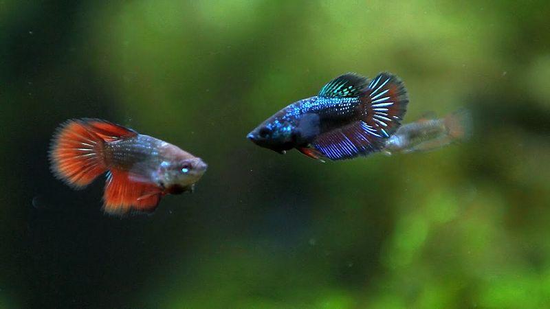 berapa lama ikan cupang betina bisa bertelur lagi