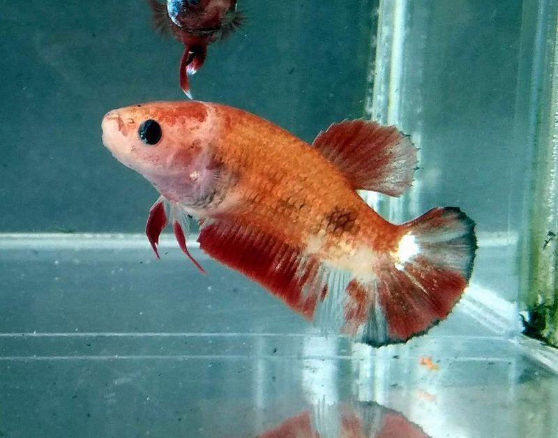 ciri ciri ikan cupang betina siap kawin