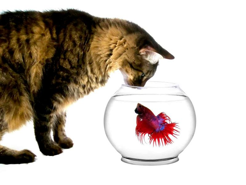 ciri ciri telur ikan cupang yang gagal menetas