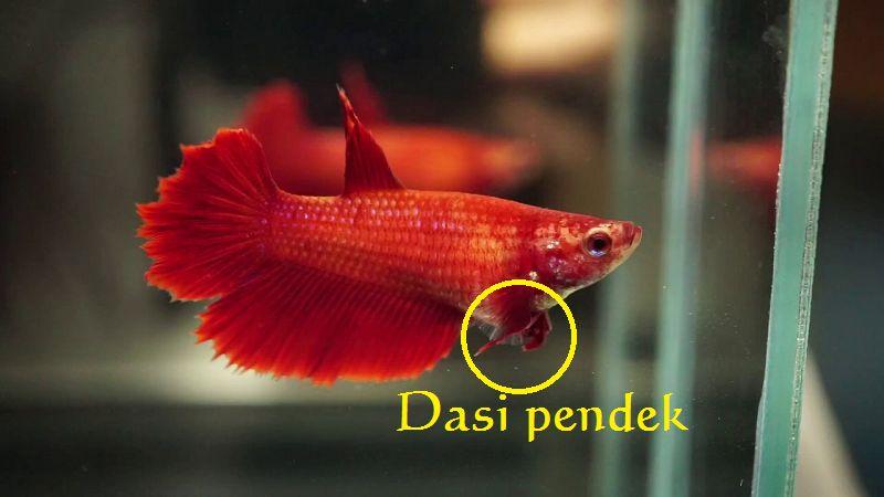 gambar dasi ikan cupang betina