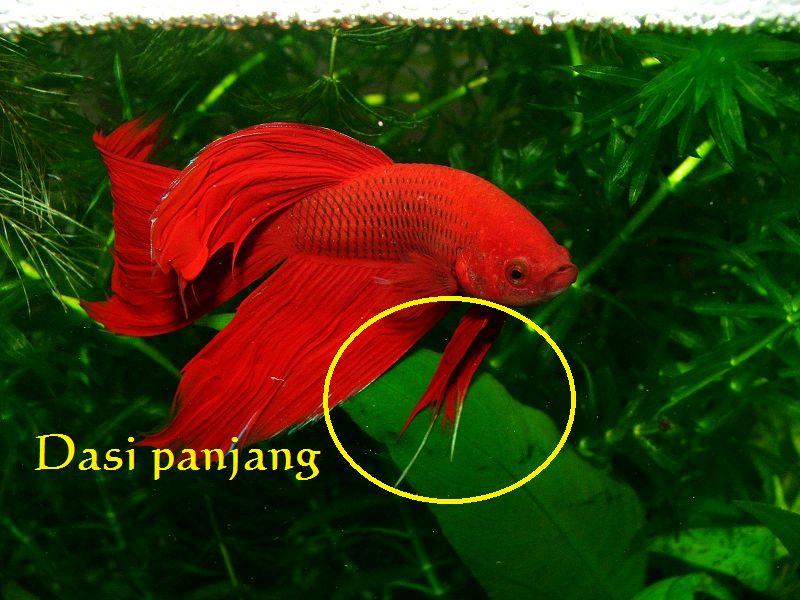 gambar dasi ikan cupang jantan