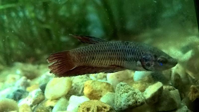 kenapa ikan cupang jantan dan betina kejar kejaran