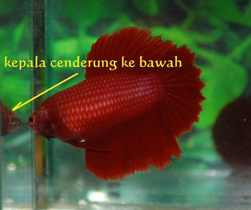 untuk membedakan jantan dan betina pada ikan cupang melalui brainly
