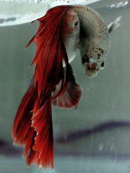 Apa Sajakah Alat Pendukung Pembenihan Ikan Cupang