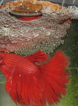 Gambar Salah Satu Ciri Ikan Cupang Jantan Yang Siap Kawin Adalah