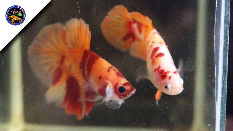Sirip Ikan Cupang Robek dan Cara Mengobatinya   Harga Jual ...