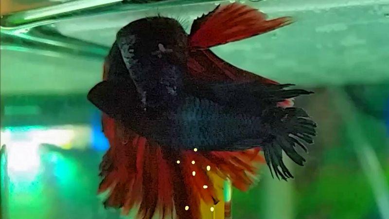 Salah Satu Ciri Ikan Cupang Jantan Yang Siap Kawin Adalah