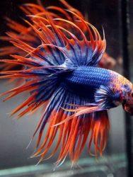 Air Untuk Merawat Ikan Cupang Agar Warnanya Bagus