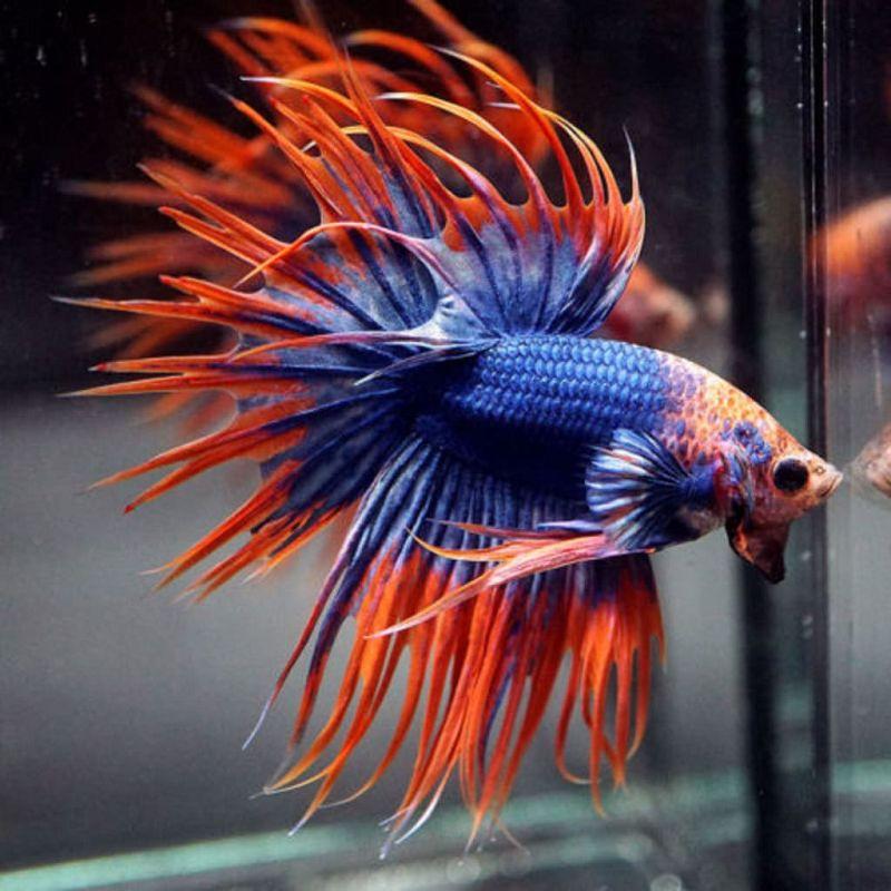 Cara Merawat Ikan Cupang Agar Warnanya Bagus Harga Jual Cupang