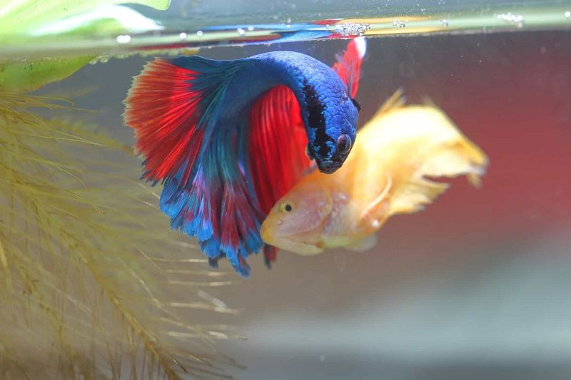 Cara Ikan Cupang Bertelur