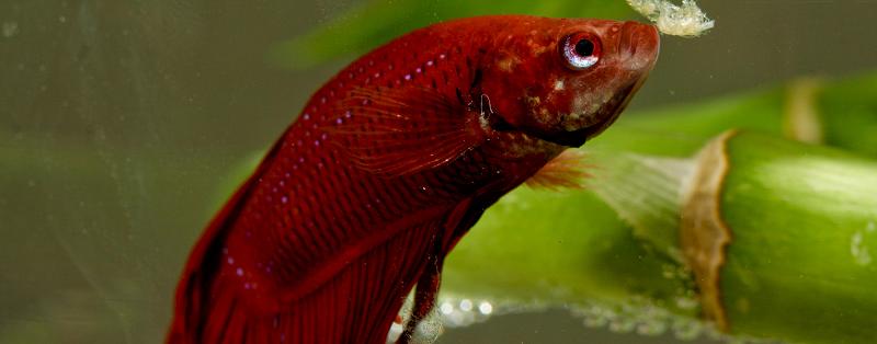 Cara Mengatasi Ikan Cupang Lesu