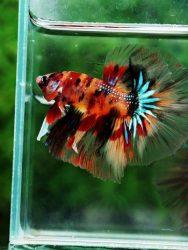 Daun Sirih Untuk Ikan Cupang