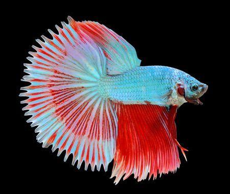 Gambar Ikan Cupang Setengah Matahari