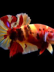 Cara Merawat Ikan Cupang Biar Cantik