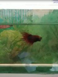 Ikan Cupang Betina Siap Kawin, Inilah Ciri-Cirinya | Harga ...