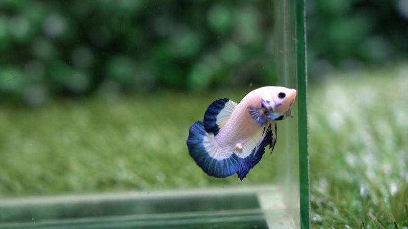 Bluerim - Jenis Ikan Cupang Yang Mahal