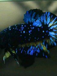 Ciri Ciri Ikan Cupang Avatar