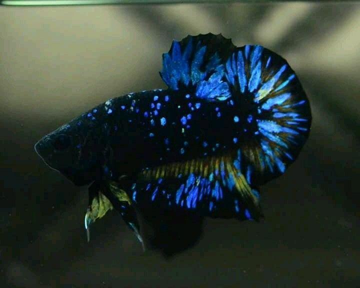 Ciri Ciri Ikan Cupang Avatar Dan Perbedaanya Dengan Cupang Bbl Harga Jual Cupang