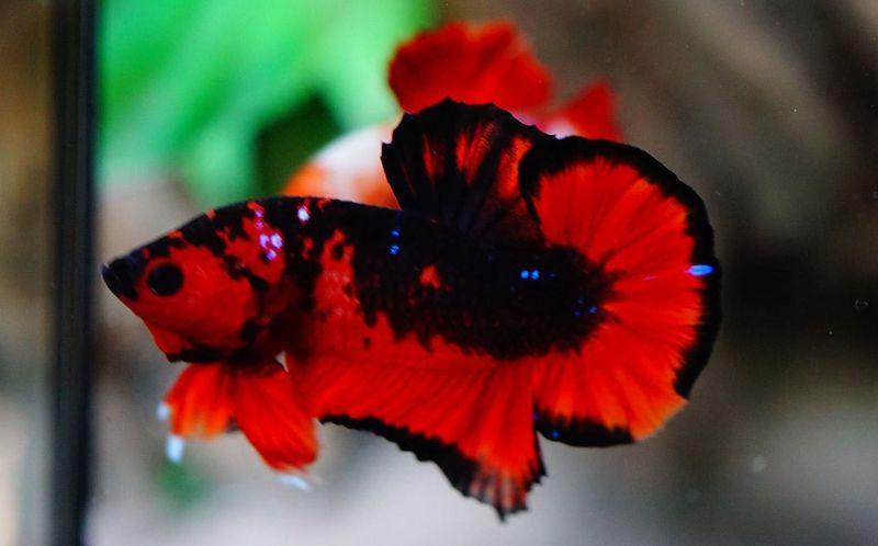 Jenis Ikan Cupang Hellboy Ciri Cirinya Harga Jual Cupang