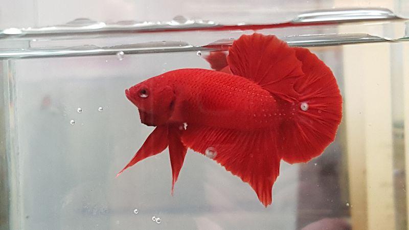 Gambar Perbedaan Ikan Cupang Hellboy & Super Red Plakat