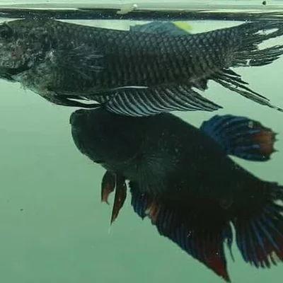 Perbedaan Ikan Cupang Hias Dan Adu Dilengkapi Gambar Harga Jual Cupang