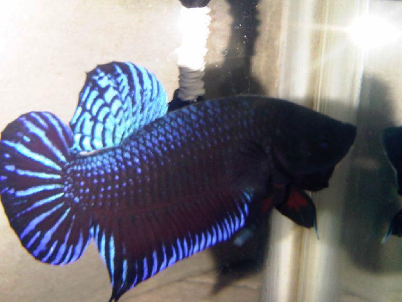 Ikan Cupang Adu Warnanya Gelap