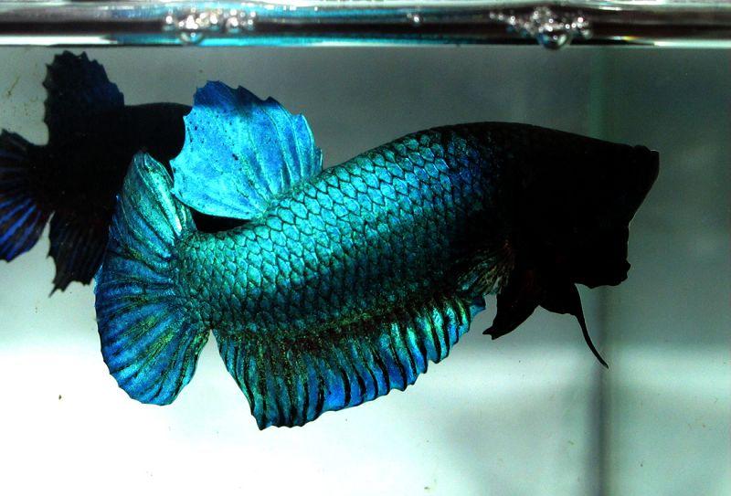 Ikan Cupang Adu