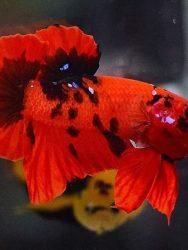 Ikan Cupang Hellboy Black Meat