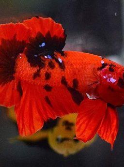 Burayak Cupang Nemo Tags Harga Jual Cupang