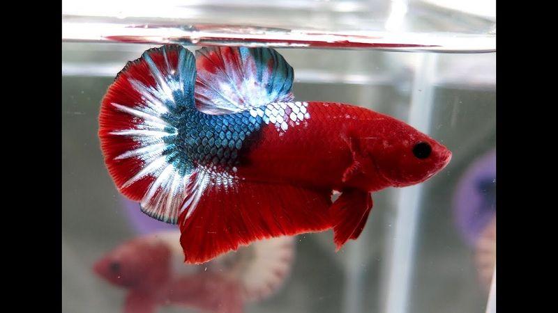 Jenis Ikan Cupang Hellboy & Ciri-Cirinya | Harga Jual Cupang