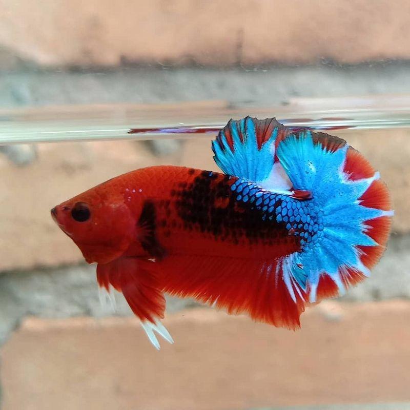 Ikan Cupang Hellboy Blue Startail