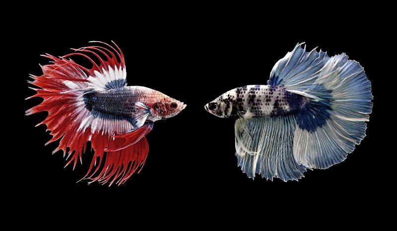 Ikan Cupang Jantan Ada Titik Putih