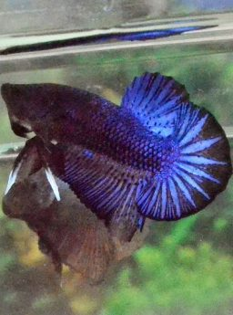 Ikan Cupang Plakat Warna Gelap Ekor Lebih Lebar