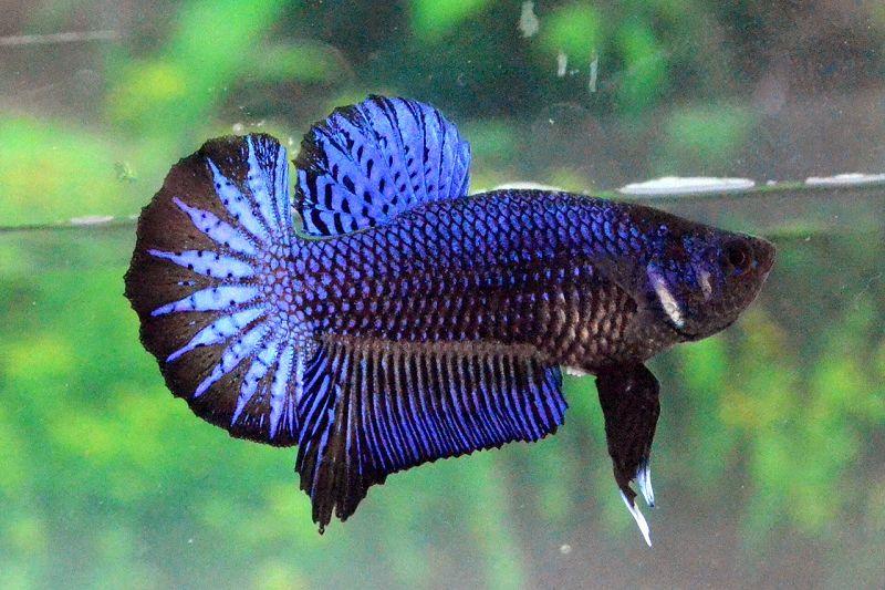 Ikan Cupang Warna Gelap