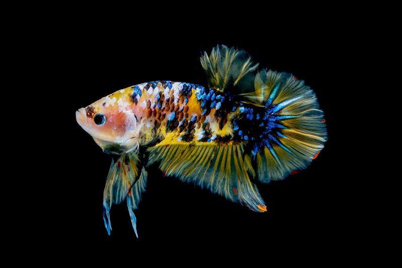 Ikan Cupang koi