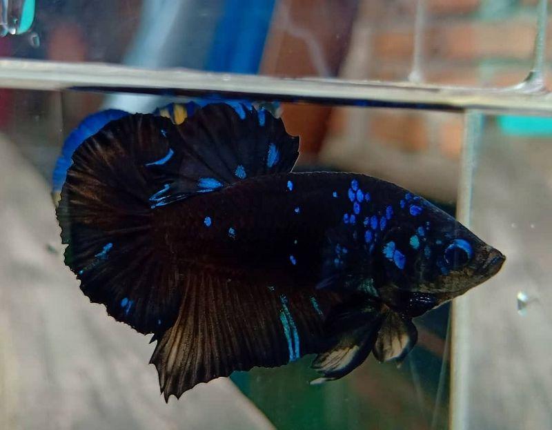 Apa Itu Wash Ikan Cupang Yuk Ketahui Harga Jual Cupang