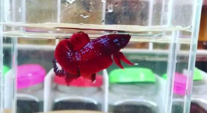 Ikan cupang red samurai