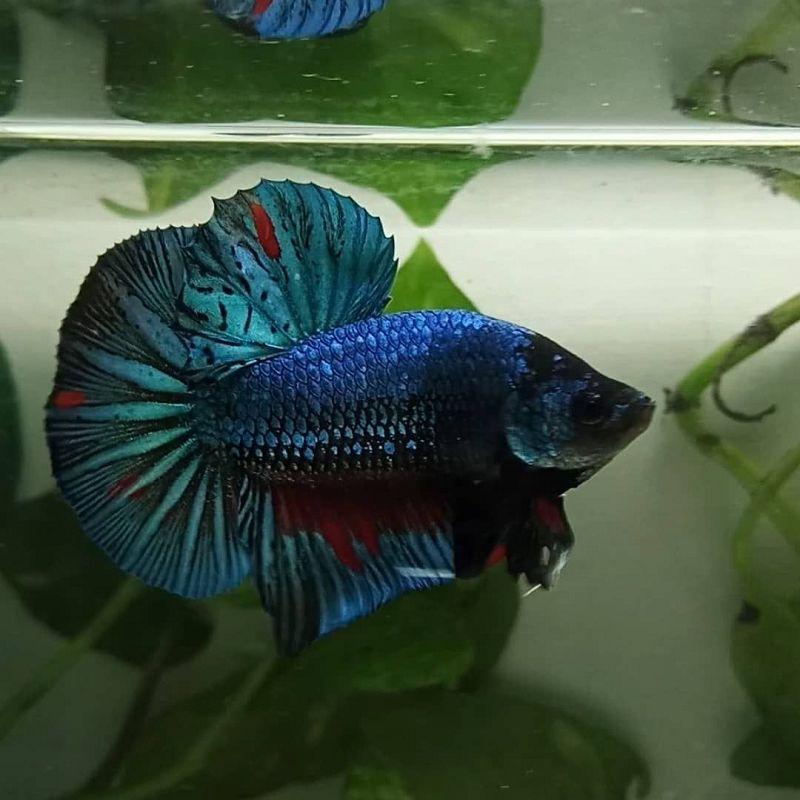 Arti Nama Ikan Cupang Besgel Harga Jual Cupang