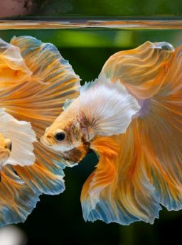 jenis ikan cupang aduan terganas Tags | Harga Jual Cupang