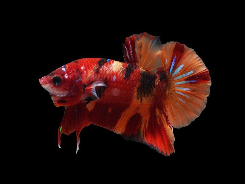 Ciri Ciri Ikan Cupang Hias Nemo