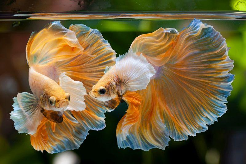 Ciri Ciri Ikan Cupang Hias