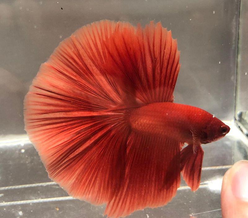 Gambar Perbedaan Ikan Cupang Halfmoon Dan Rosetail
