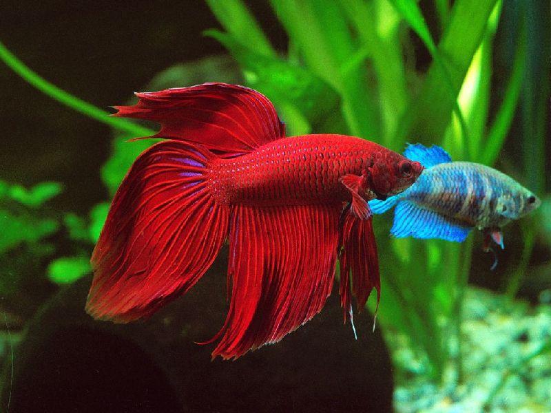 Harga Ikan Cupang Veiltail Lengkap Dengan Jenisnya Harga Jual Cupang