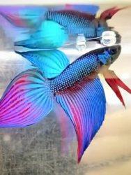 Ikan Cupang Imbellis Veiltail