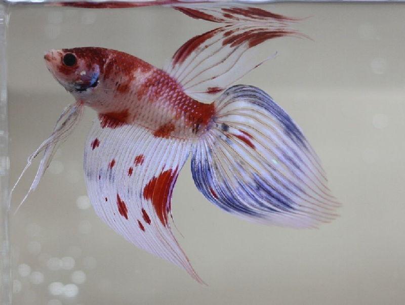 Ikan Cupang Veiltail Koi