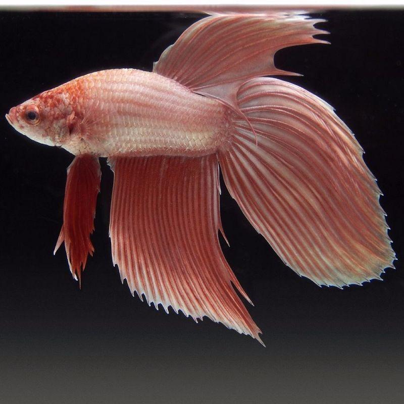 Ikan Cupang Veiltail Metallic