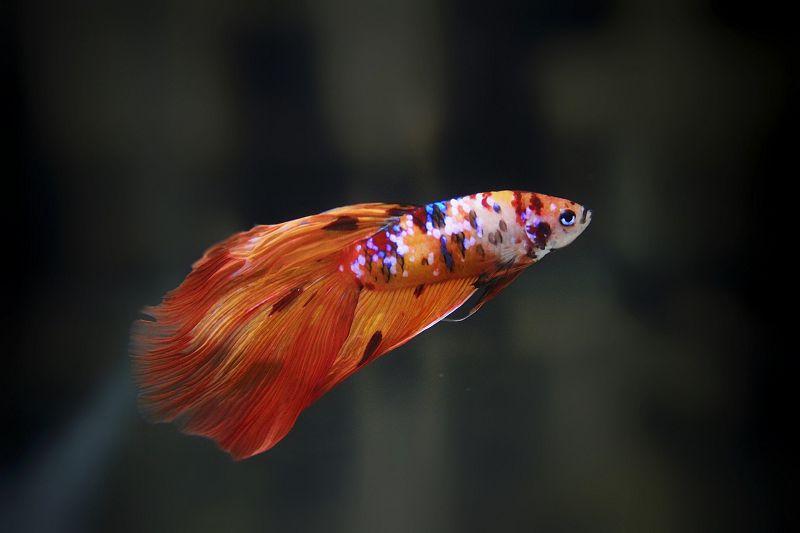 Veiltail Nemo Tiger Galaxy Koi