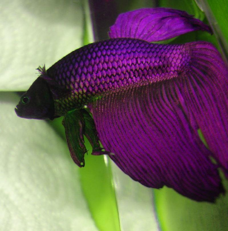 Ikan Cupang Veiltail Ungu